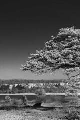 Ihreviken, Gotland (arkland_swe) Tags: white black tree pine day sweden tall gotland dag trd ihreviken