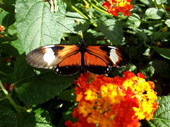 Heliconius Doris (twacar) Tags: flowers insects dorislongwing bugs butterfliesgofree butterflies plants mainexhibitgreenhouse montreal montrealbotanicalgarden