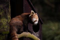 red panda (GL Parry) Tags: red colour canon zoo focus panda telephoto redpanda whipsnade 6d infocus focu