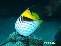 pesce farfalla auriga (marco prete) Tags: sea fish nature mare redsea scuba diving natura egitto pesce subacquea barrieracorallina chaetodonauriga marrosso