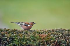 Common Chaffinch2 (jacobsfrank) Tags: color bird nature garden belgie natuur tuin lente vogel chaffinch kleur vink frankjacobs vissenaken nikond7200 jakobsfrank