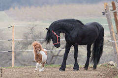 Pauli & Daen (HendrikSchulz) Tags: germany deutschland march pony pferde pferd märz daen friesen pauli weh friesian 2015 friese friesians minishetty friesianstallion baroquehorse friesenhengst barockpferd friesenstallweh hendrikschulz hendriktschulz