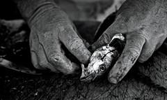 Les mains du pécheur sont-elles moins nobles que celles du sculpteur ? #Athènes marché aux poissons de #Varkiza (nikosaliagas) Tags: fish fisherman greece poisson varkiza