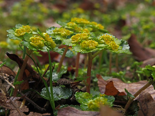 Alternate-leaved golden-saxifrage