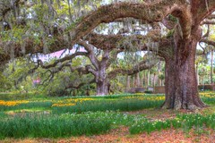 large oak trees of the south (Mysophie08) Tags: challengeyouwinner 15challengeswinner