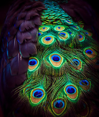 Peacock train (10000 wishes) Tags: bird nature eyes feathers peacock colourful tailfeathers