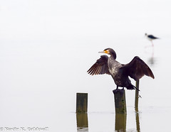 Phalacrocorax carbo [Great Cormorant] (kkchome) Tags: china bird nature fauna asia wildlife great birding hong kong mai po cormorant carbo phalacrocorax