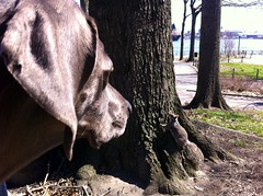 Close Encounters of the Third Kind (VanaTulsi) Tags: dog weimaraner weim blueweimaraner vanatulsi blueweim