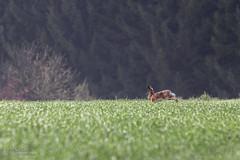 Lièvre (Jérémy De Gobbi Photographie) Tags: canon lorraine 70200 moselle diesen lièvre 70d
