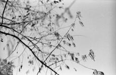 Anche i rami hanno le dita? Sì, per toccare il cielo. (Maria Evgenidu) Tags: wood trees bw film nature analog 35mm fingers cx bn analogue 135 biancoenero chinon helios ilfordfp4 pellicola touchthesky helios44m4 chinoncx ilfordfp4125 classicblackwhite 44m4 fotografiaanalogica ilfordfilms