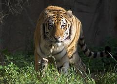 early morning glare (ucumari photography) Tags: sc animal mammal south tiger columbia whiskers bigcat carolina april siberian amur riverbankszoo 2015 dsc1010 specanimal ucumariphotography