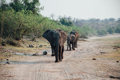 Sunset Walk (wenzday01) Tags: park travel sunset elephant nature animal nationalpark nikon wildlife safari botswana nikkor chobe africanelephant kasane gamedrive d90 chobenationalpark nikond90 chobechilwero sanctuaryretreats vscofilm 18105mmf3556gedafsvrdx