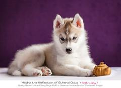 Day 44 Megha (Emyan) Tags: dog puppy puppies husky m litter siberian