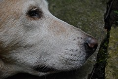 The Snout of Darby (ricko) Tags: dog pet mouth nose head darby snout gettingold 13years