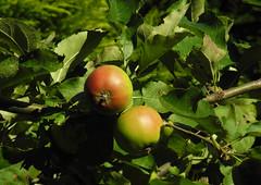 Appeltjes (~~Nelly~~) Tags: fruit appel pomme