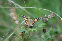 Painted Lady (SLANEY58) Tags: butterflies farthingdowns insects paintedlady uk purley surrey