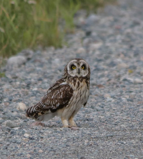 Hibou des marais - Asio flammeus - Short-eared Owl