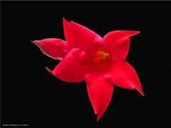 roter Stern - red star (Jorbasa) Tags: red plant flower rot germany deutschland star hessen blossom pflanze blume stern blte wetterau jorbasa