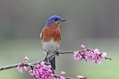 Eastern Bluebird (Alan Gutsell) Tags: bird birdind photo alan wildlife nature park tree eastern bluebird easternbluebird songbird bearcreekpark