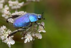 Hoplie bleue (Hoplia coerulea), Meyrueis, Cévennes, France (Frank.Vassen) Tags: hopliacoerulea hoplia france cévennes meyrueis hopliebleue