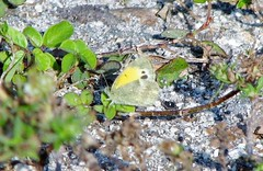 Napthalis iole --  Dainty Sulphur Butterfly 0602 (Tangled Bank) Tags: park county wild beach nature butterfly insect natural florida palm lepidoptera shore area sulphur preserve dainty delray iole maritima 6662 alternanthera 0600 althernanthera napthalis