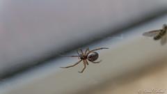 It's a trap ! (Lionelcolomb) Tags: wild food france macro animal canon spider wildlife sigma hunter trap insecte araigne predation scne pige