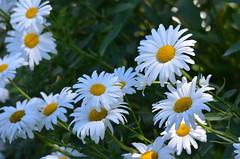 Daisy (Neal D) Tags: bc surrey crescentbeach flower flowers daisy