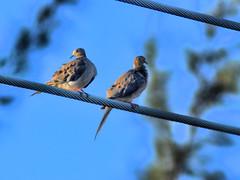 Mourning Doves 20160720 (Kenneth Cole Schneider) Tags: florida miramar westbrowardwca