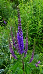 Veronica spicata (spike speedwell) (Jacques Trempe 2,360K hits - Merci-Thanks) Tags: wild canada flower fleur quebec veronica spike speedwell sauvage spicata stefoy