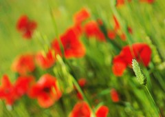 Roig passi, verd esperana (jocsdellum) Tags: verd verde green roig rojo vermell red spring flors primavera flowers desenfoque desenfocament softfocus amapolas poppies
