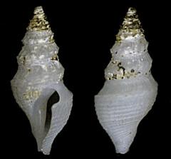 MOL_2355_M_subsida_2355_01_297x276.gif (MaKuriwa) Tags: mollusca gastropoda neogastropoda turridae microdrillia