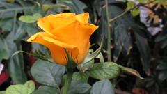 Una rosa amarilla  (Xic Eseyosoyese (Juan Antonio)) Tags: verde planta mxico del mi canon de rouge is mother rosa powershot patio amarillo una madre amarilla rosal maceta sx170
