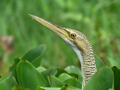 PIBI_2016f (Surfishrink) Tags: isletasdegranada nicaragua centralamerica pinnatedbittern botauruspinnatus