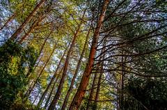 Growing High, Nahr Ibrahim- Lebanon {Explore} (Paul Saad (( ON/OFF ))) Tags: lebanon tree trees nature kartaba qartaba forest