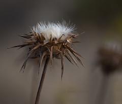 Artichoke Thistle (Ali -1963) Tags: artichokethistle wild flower portugal muted alisonroberts