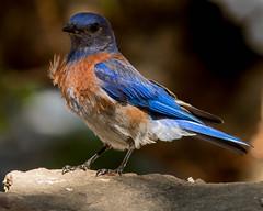 Mr. Blue (cetch1) Tags: wild nature birds wildlife birding bluebird westernbluebird americanbluebird californiabirding bluebirdstudio