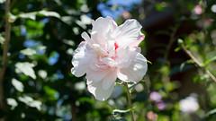 201608_13_2560 (noriko_v) Tags: flower summer nature