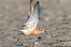 Fly! (Myreality2) Tags: wildlife beach dotterel importedkeywordtags nature bird whangamata newzealand sea waikato nz