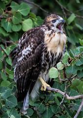 Fledgling Red Tail Hawk - Rescue #4 (edmason88) Tags: fledglingredtailhawk rescue happyending calling tamron150600 strathconacounty alberta