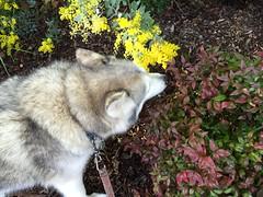 Stop to Smell the Flowers (redwolfoz) Tags: dog flower green yellow garden grey pod husky malamute siberianhusky alaskanmalamute