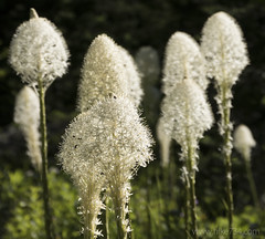 "Beargrass • <a style=""font-size:0.8em;"" href=""http://www.flickr.com/photos/63501323@N07/28448209941/"" target=""_blank"">View on Flickr</a>"