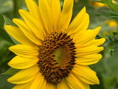 20160723-IMG_0127 (MandoCatDSM) Tags: sunflowers badger creek wildflowers sunrise