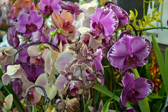 2016-07-23 08761 Orchid Show, SF County Fair Bldg (Dennis Brumm) Tags: sanfrancisco california july 2016 orchids exposition flowers plants bromeliads