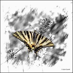 (2332) Papallona (QuimG) Tags: retoc retoque retouch macro natura nature naturaleza creativity mariposa papallona olympus quimg quimgranell joaquimgranell afcastell specialtouch obresdart