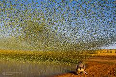 IMG_0406.jpg (Paul Williams www.IronAmmonitePhotography.com) Tags: bird budgerigar summer murmuration dryseason melopsittacusundulatus australia