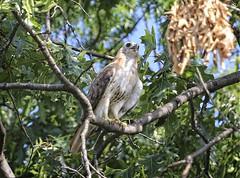 Christo (Goggla) Tags: nyc new york east village tompkins square park urban wildlife bird raptor red tail hawk adult male christo molting goglog