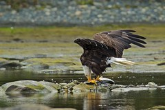 The catch (rs) (Blingsister) Tags: americanbaldeagle baldeagle eagle eaglecatchesalargesalmon eaglewithafish wildraptor wildlife blingsister melanieleesonwildlifephotography canon7dmarkii canonef100400mmf4556lisiiusm14xiii northernvancouverisland