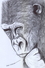 gorila a lapicero (ivanutrera) Tags: draw dibujo drawing dibujoenboligrafo dibujoalapicero boligrafo lapicero wild wildlife sketch sketching gorila gorilla pen ilustracion