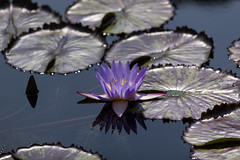 Silent waters (Irina1010) Tags: pond lilypods waterlily blue stillness silence nature water reflection canon ngc npc