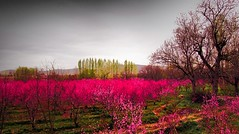 . (Vieparamsberlon.) Tags: spring blossoms trees pink hdr color nectarines garden landscape flowerbed flowers